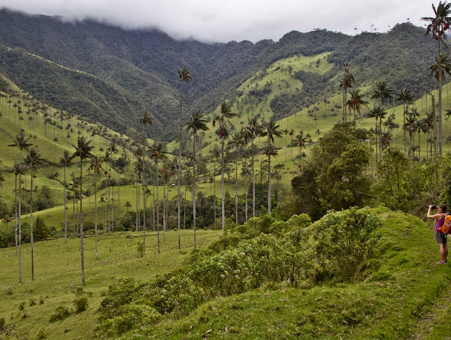 World's tallest palms in Colombia's Coffee Triangle
