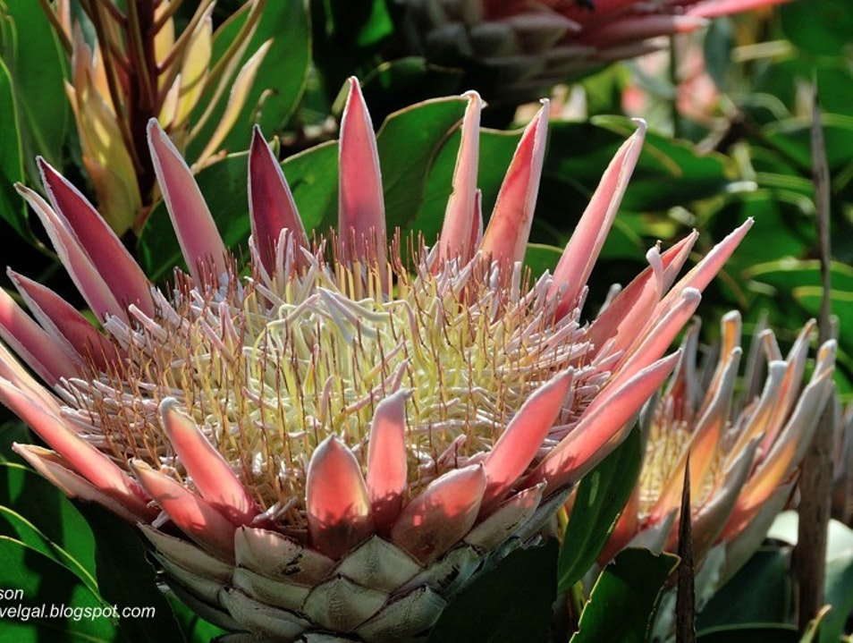 King Protea in Bloom Betty's Bay  South Africa