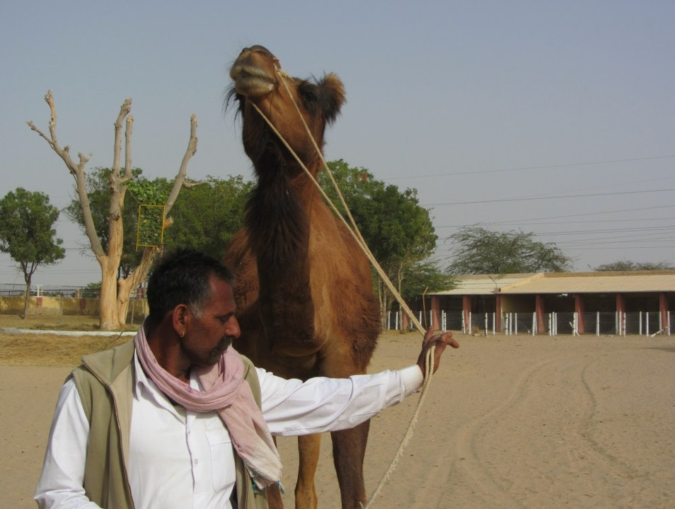 Take a Lesson from the Camels Bikaner  India