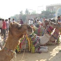 Pushkar camel fair Pushkar  India