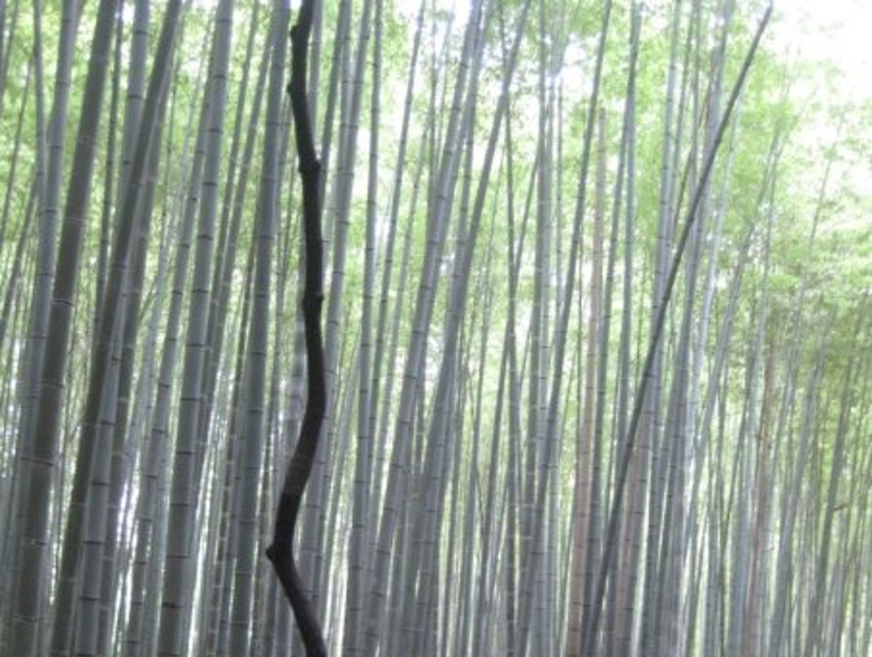 The Bamboo Forest in Kyoto