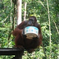 Orangutan Care Center Kumai  Indonesia