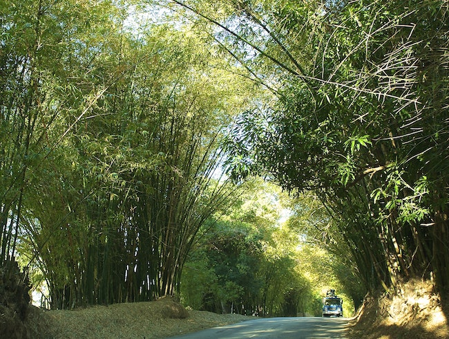 Cruise down Bamboo Avenue