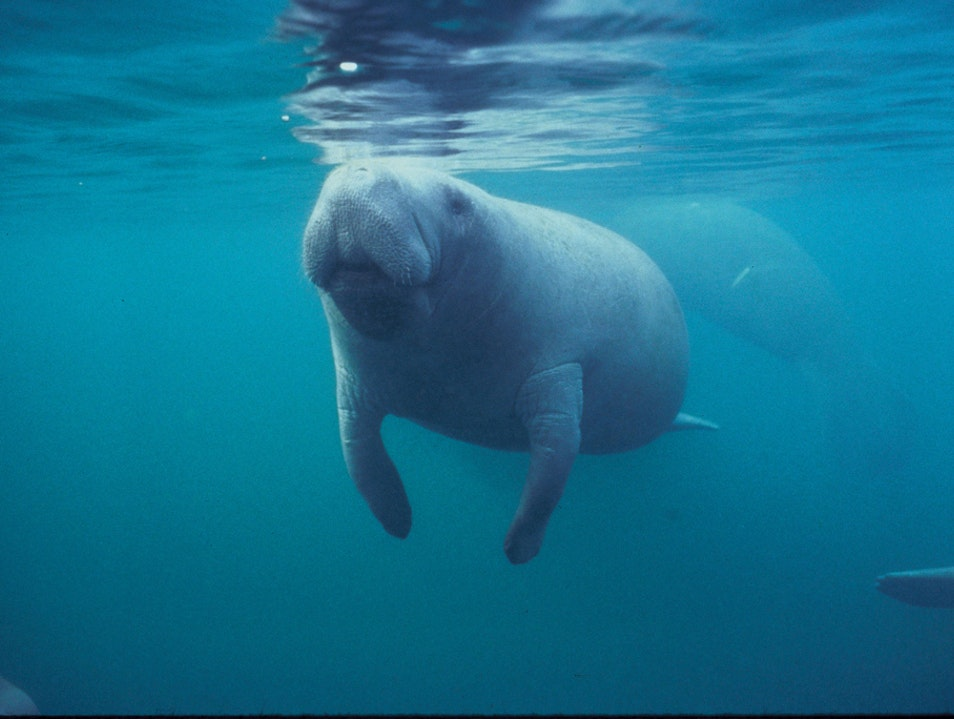 View Manatees in the Wild