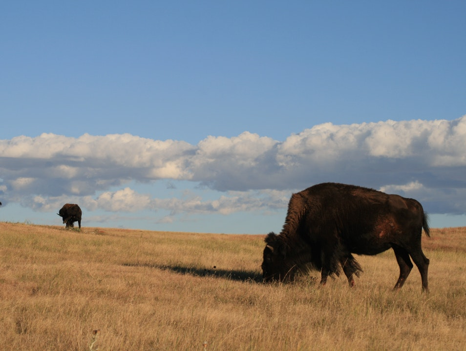 Bison Above the Cave Fairburn South Dakota United States
