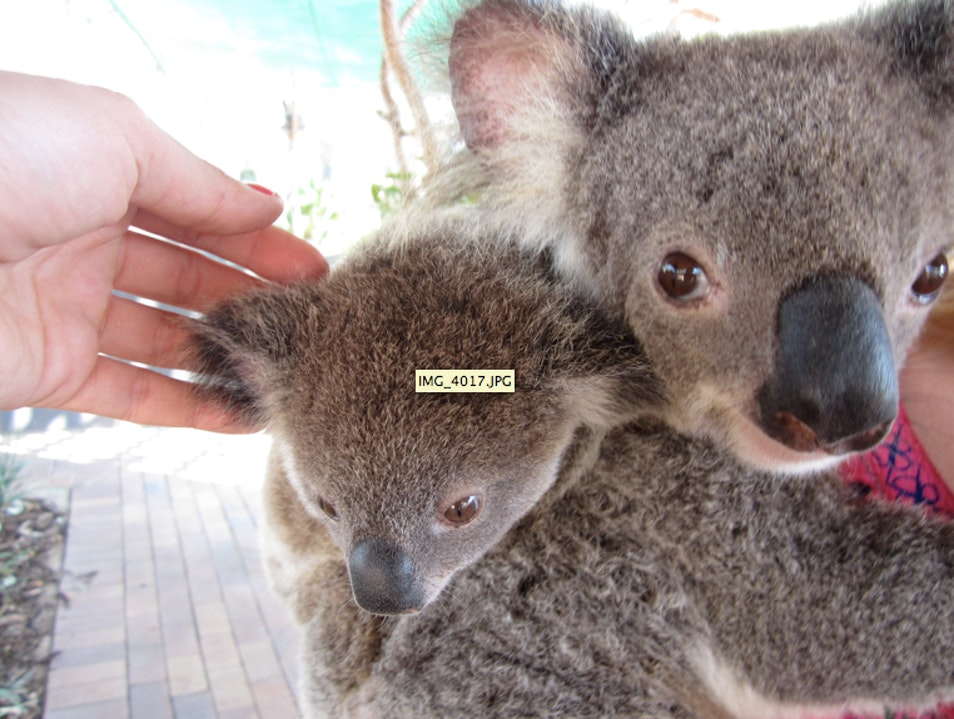 Get Up Close and Personal With Australia's Cuddly Koalas Nome  Australia