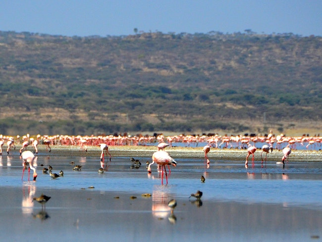 The Flamingos of Shalla