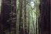 Majestic Redwood Forest Guerneville California United States