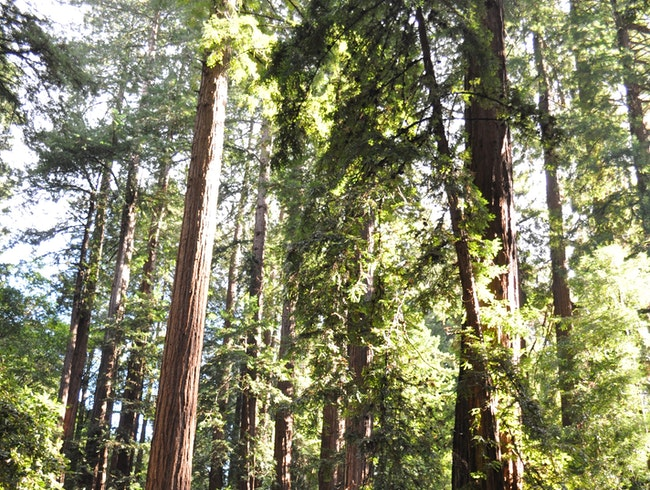 Quick Trip to the Redwoods