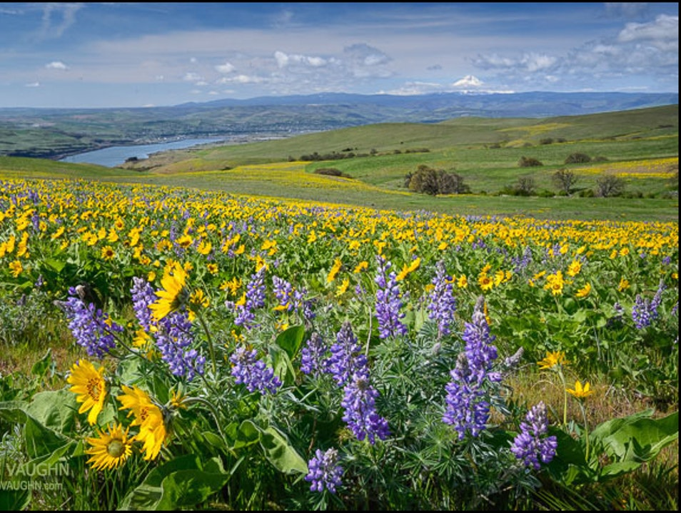 Wildflower Time in the Columbia River Gorge Centerville Washington United States