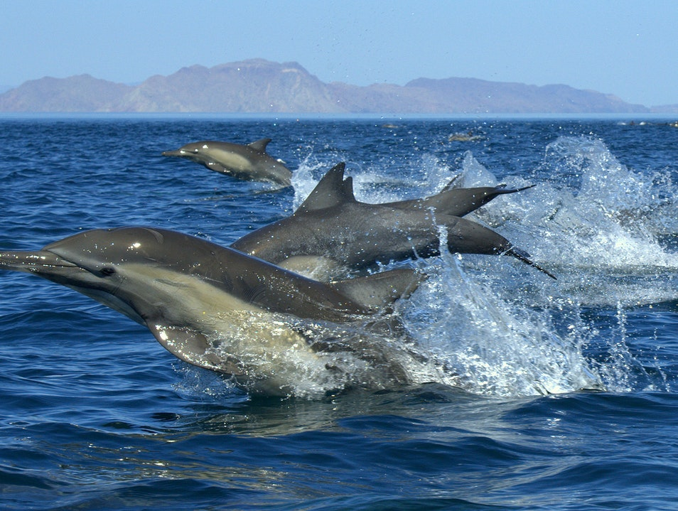 Dolphin Paradise: The Sea of Cortez Baja California  Mexico