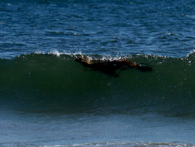 See a Surfing Sea Lion