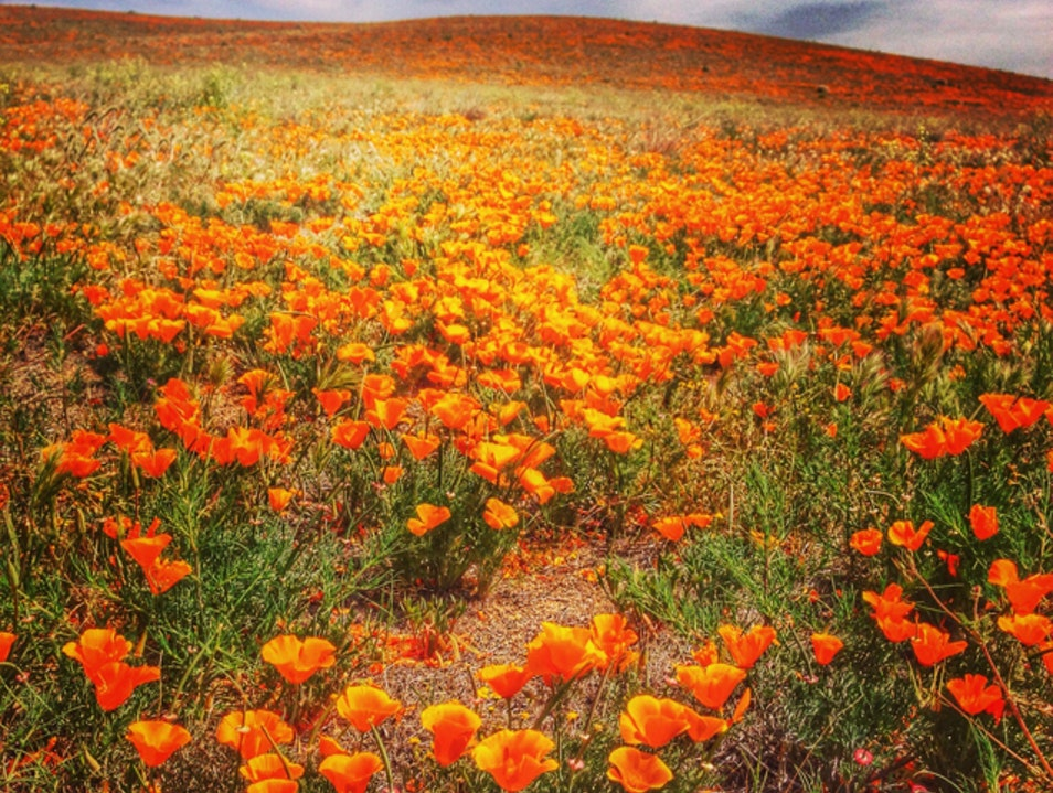 Playing in the Poppies Lancaster California United States