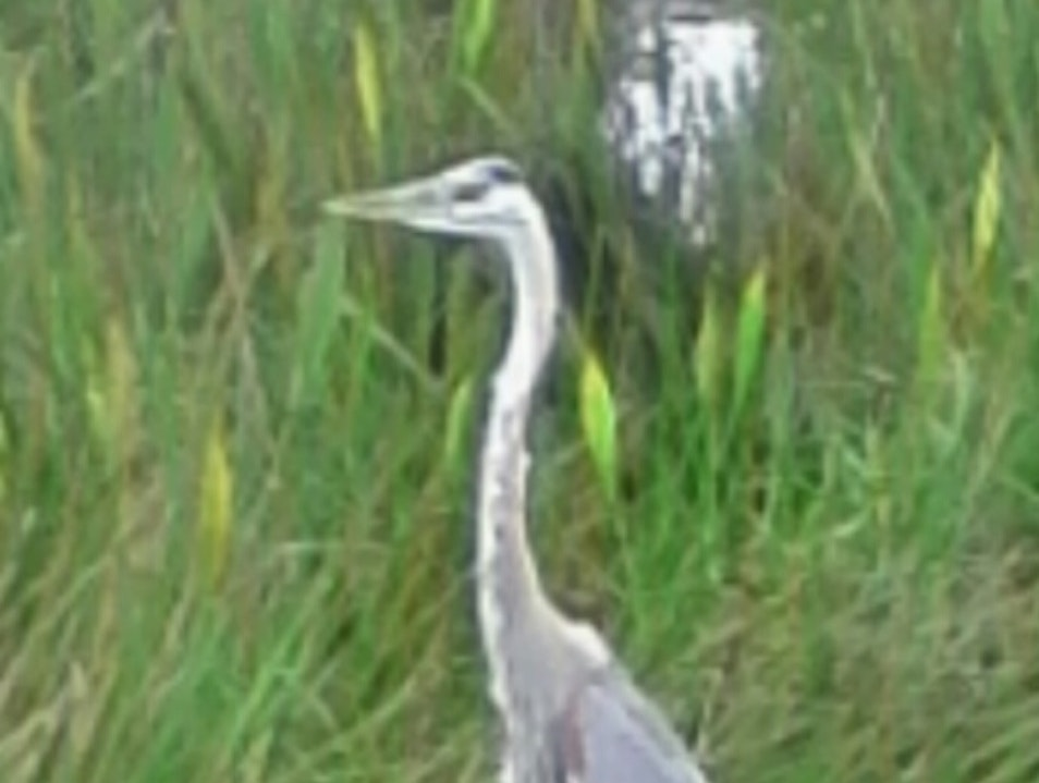 Spotted a Blue Heron  Venice Florida United States