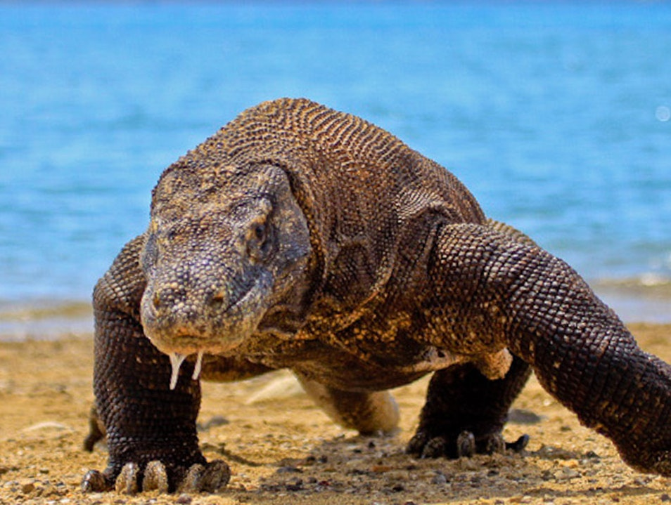 3 DAYS 2 NIGHT KOMODO TOUR PACKAGE - KOMODO ADVENTURE