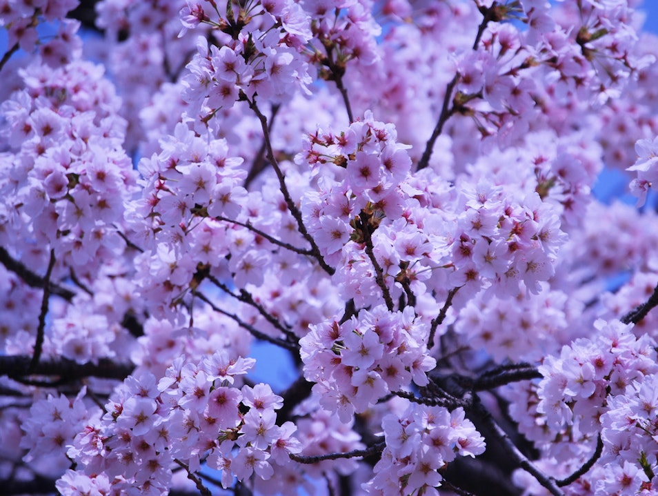 Cherry Blossoms Seoul  South Korea