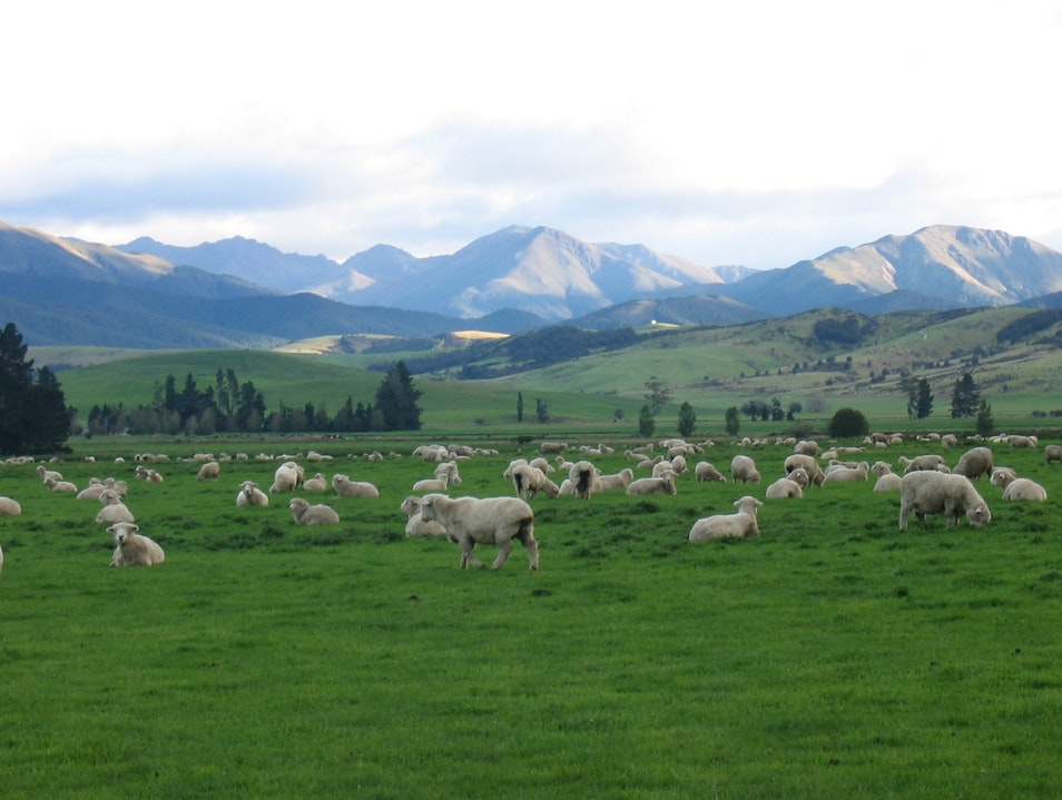 Sheep! New Zealand's Wooly Hosts  Wanaka  New Zealand