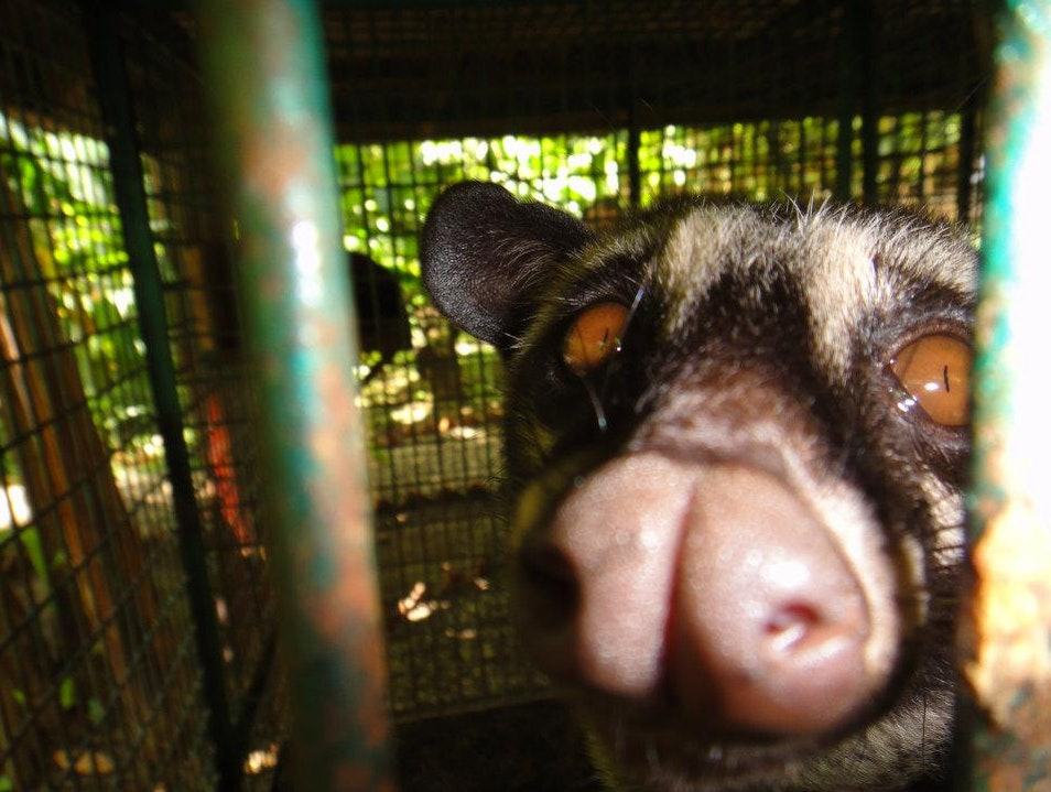 Asian Palm Civet Denpasar  Indonesia