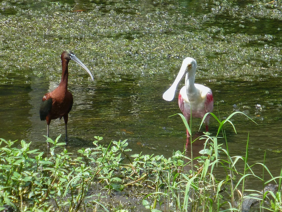 From Alligators to Spoonbills, Sawgrass Lake is a Must See!  Saint Petersburg Florida United States