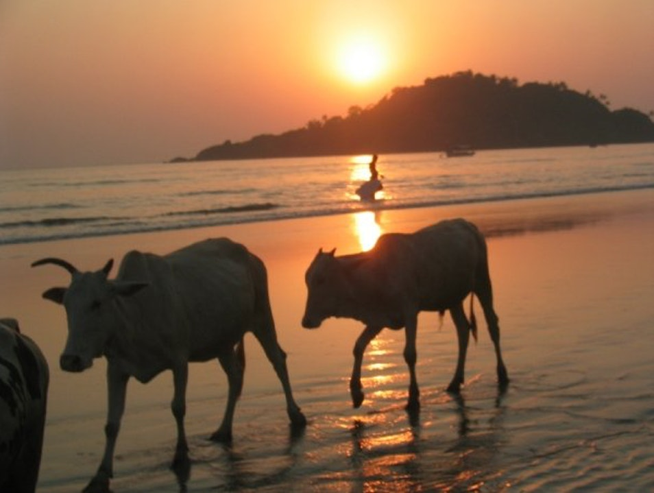cows at sunset Bandoli  India