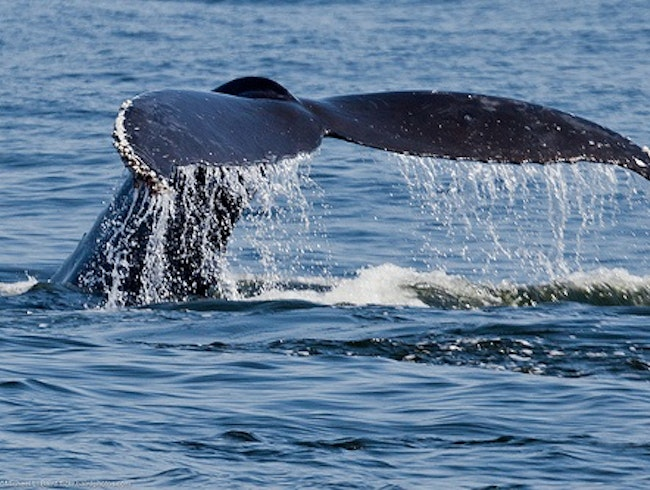 Humpback Whale Research in Costa Rica