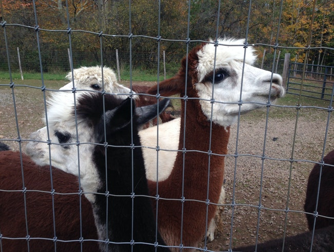 Feed Alpacas in Upstate NY