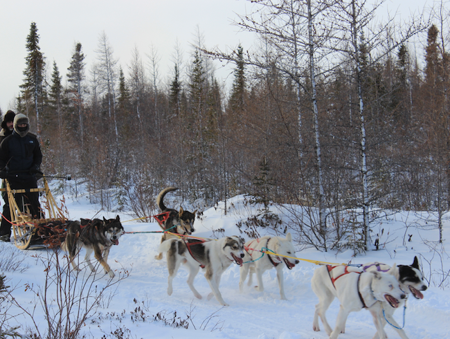 Dog Sledding With Wapusk Adventures