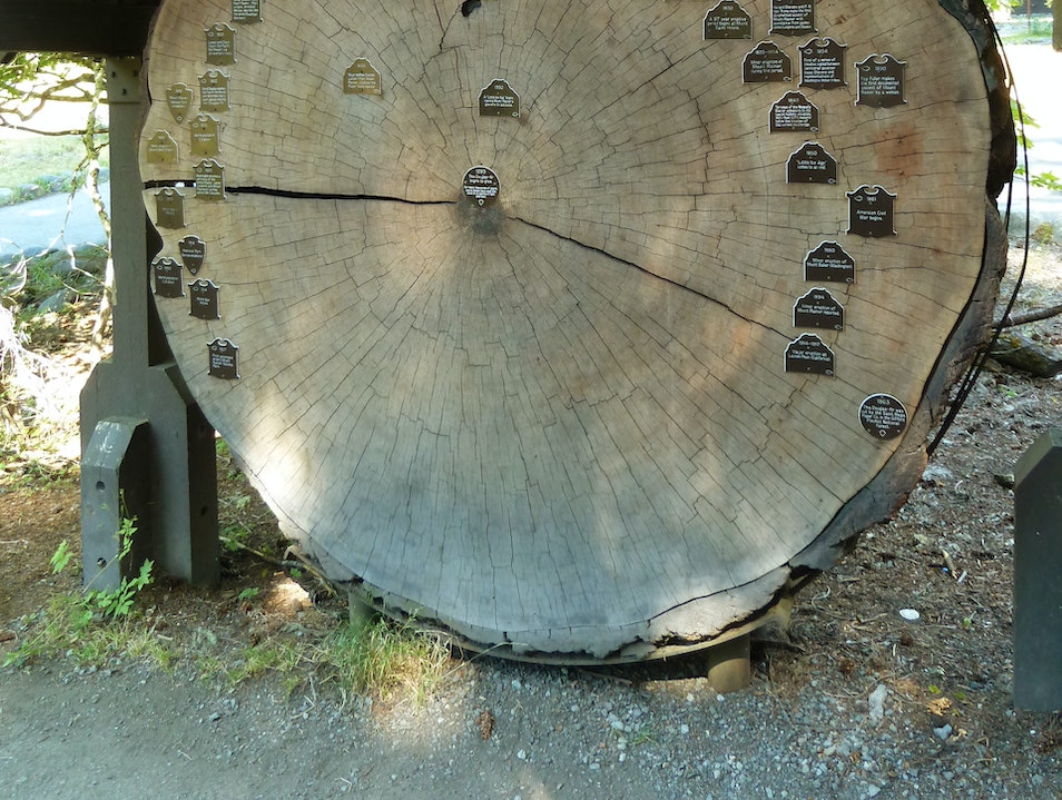 Count Your Age in Tree Rings