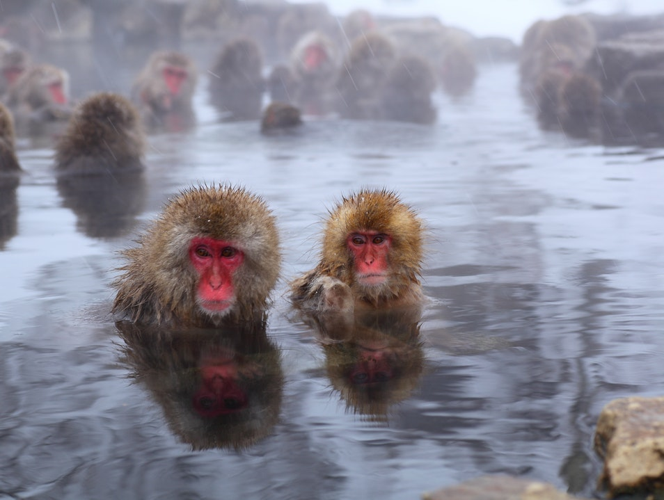 JAPAN'S SNOW MONKEYS: CHILLED OUT BUT STILL CHEEKY 山ノ内町  Japan