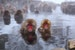 JAPAN'S SNOW MONKEYS: CHILLED OUT BUT STILL CHEEKY Yamanouchi  Japan
