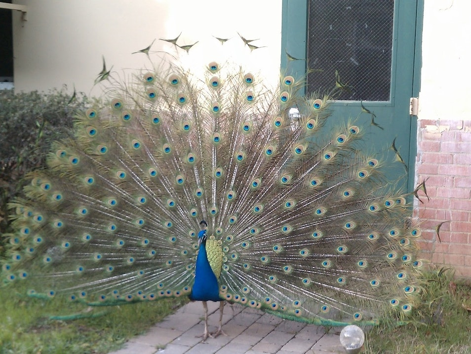 Peacock Paradise Ukiah California United States