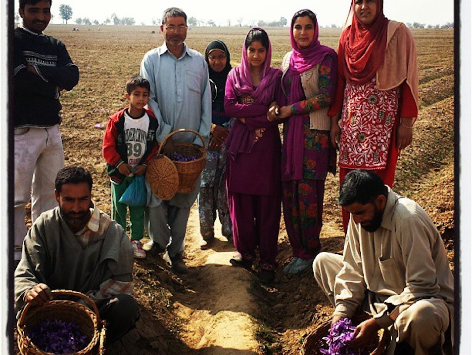 Harvesting Saffron with Farmers in Kashmir Pampore  Earth