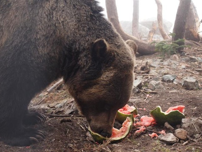 Grizzly Surprises at Grouse Mountain