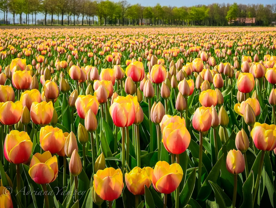 Tulip fields in Flevoland  Swifterbant  The Netherlands