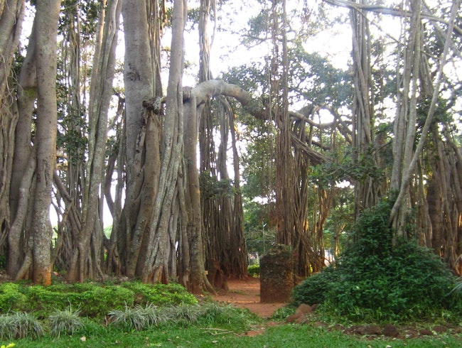 400 year old Big Banyan Tree