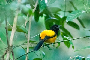 The Oriole Trail