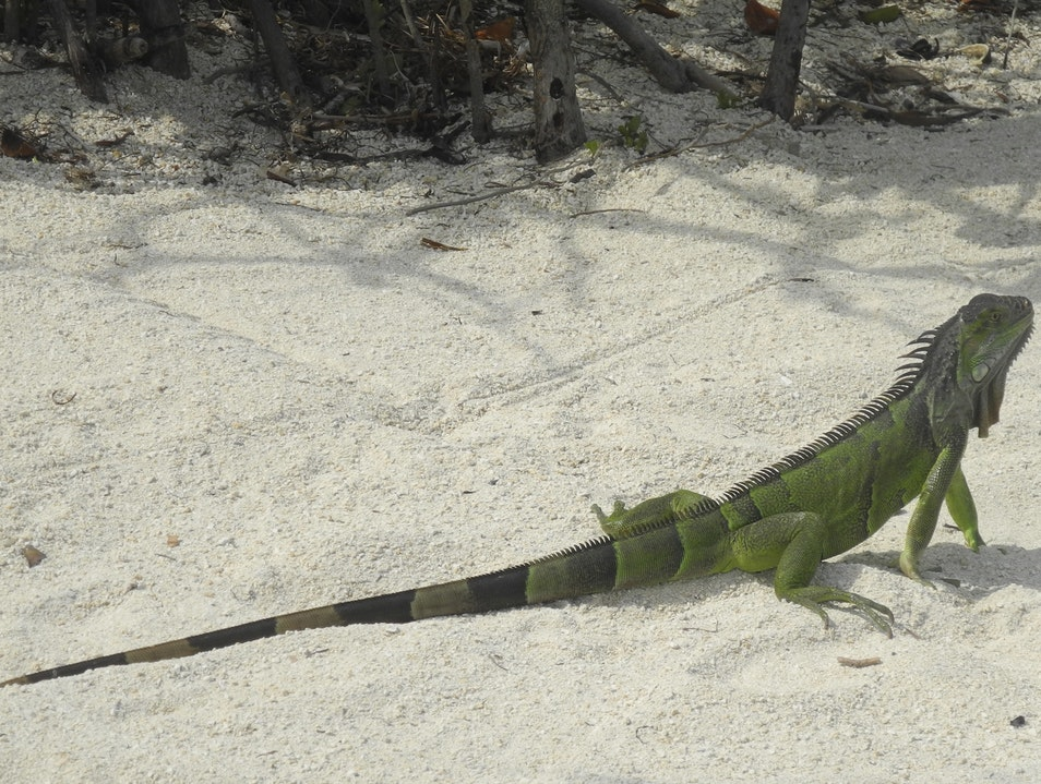 The  Green Iguanas That Live in the Mangroves Key Largo Florida United States
