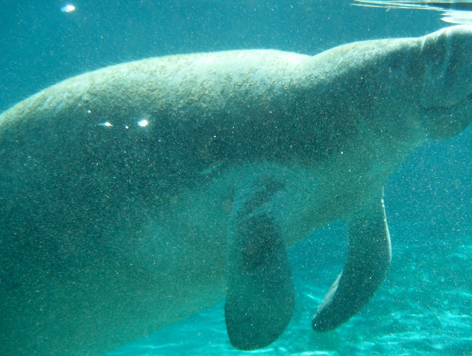 Swimming with Manatees Crystal River Florida United States