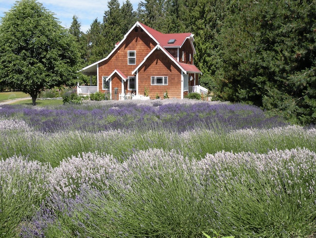 Lavender Festival in Sequim, Washington