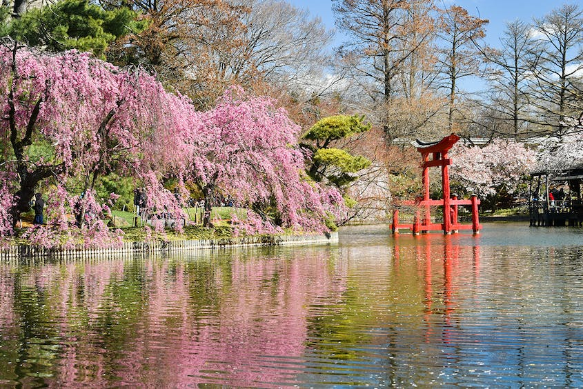 Brookyln's Botanic Garden, with its many blooming cherry trees, is a perfect place for a springtime stroll.