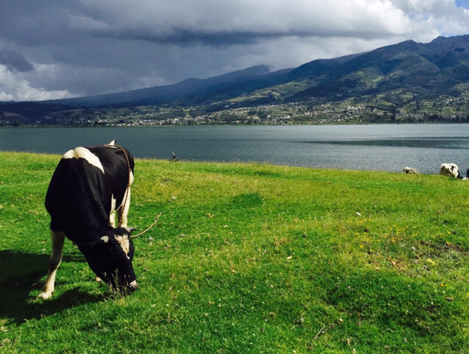 Grazing With Cows Around Lago San Pablo