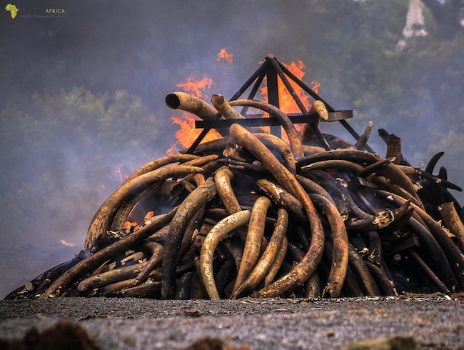 Burning Illegal Ivory in Kenya.
