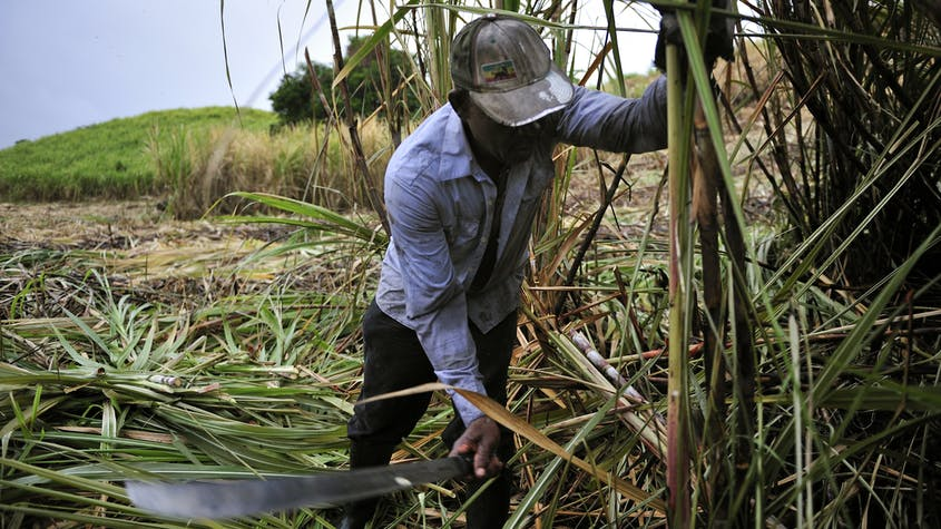 A farmer harvests sugarcane for rum in Martinique.