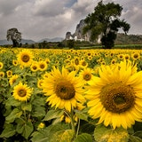 Sunflowers of Lopburi, Thailand