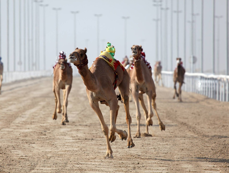 Witness a Camel Beauty Contest Ash Shahaniyah  Qatar