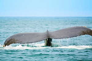 Whale-Watching on Banderas Bay