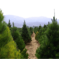Pipe Creek Christmas Tree Farm San Antonio Texas United States