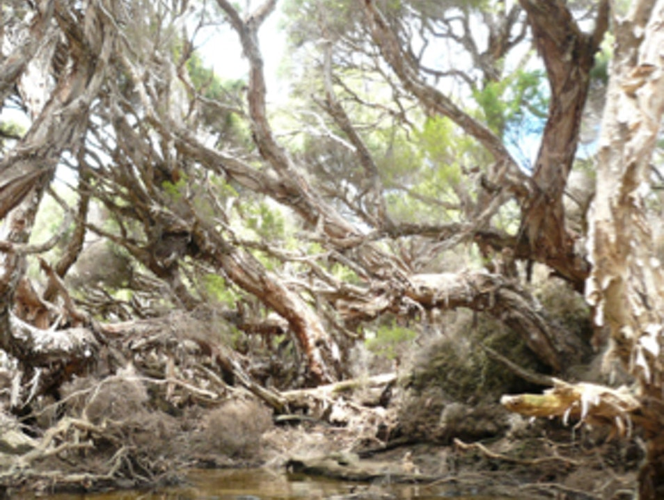 Ancient Tea Trees Busselton  Australia