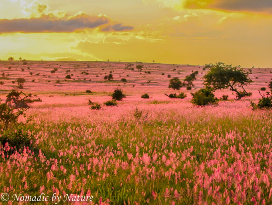 THE LONG LAVENDER GRASSES OF TAITA HILLS
