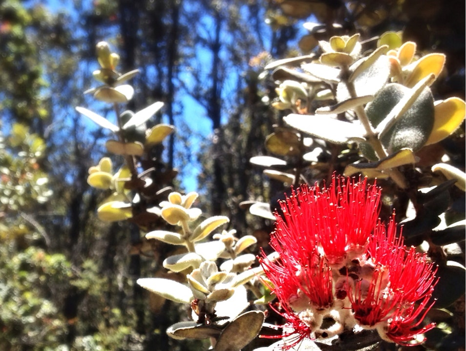 Red Ohia Blossom on Devastation Trail Mountain View Hawaii United States